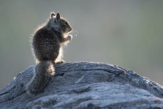 Juvenile California Ground Squirrel (Otospermophilus beecheyi) sitting on a log | by Wade Tregaskis