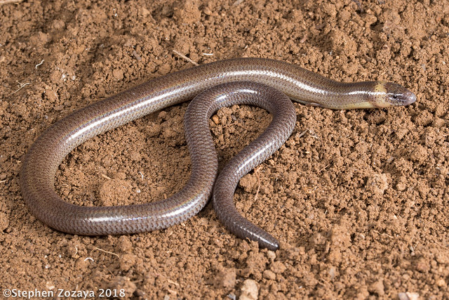 Two-clawed worm-skink (Anomalopus leuckartii)