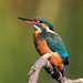 Female Kingfisher (Alcedo Atthis)