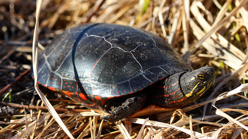 Painted turtle (Chrysemys picta) in situ | by phl_with_a_camera1