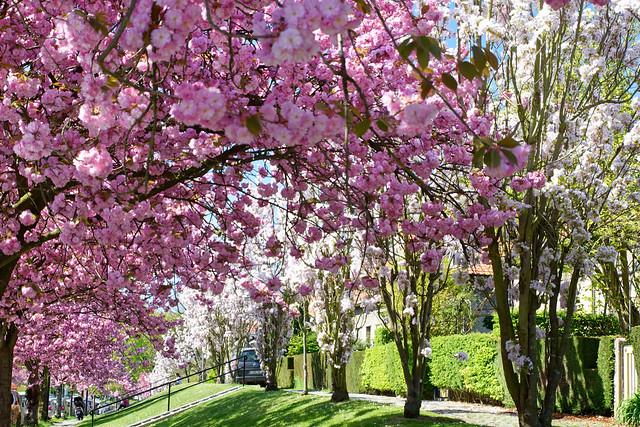 Floraisons près du square des Archiducs à Watermael-Boitsfort