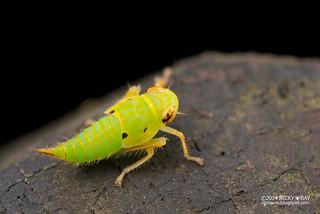 Leafhopper (Tartessinae) - DSC_7781