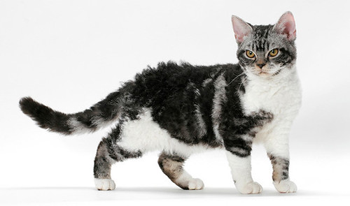 american-wirehair-02