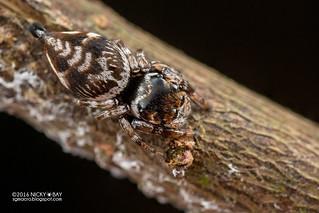 Jumping spider (Ptocasius sp.) - DSC_2816