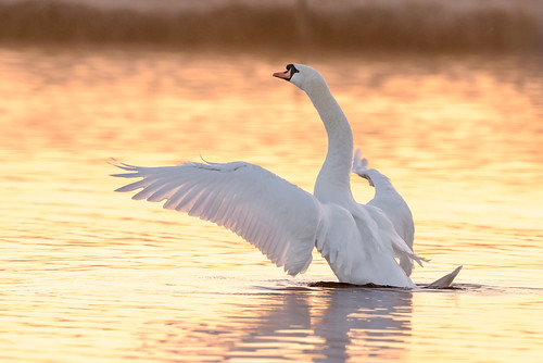 winter sunrise swan ywt staveley