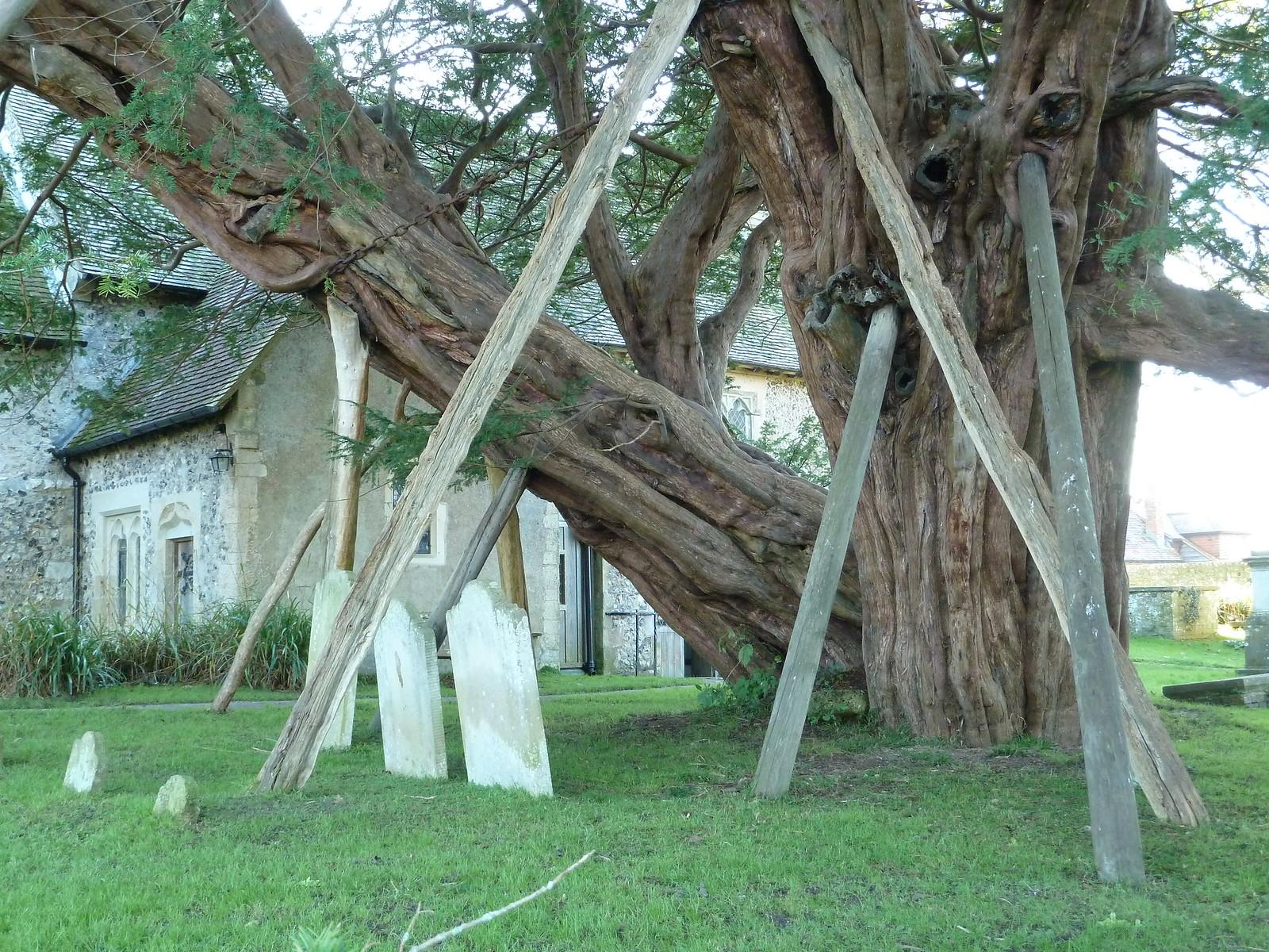 Ancient Yew (Berwick to Birling Gap) Ancient Yew Tree, Wilmington church