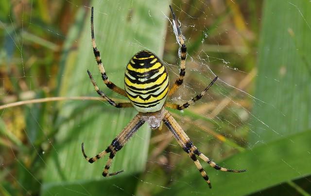 Wasp Spider 120816 (2)