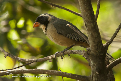 Pepitero de collar (Golden-billed Saltator) Saltator aurantiirostris | by El Profe Allende