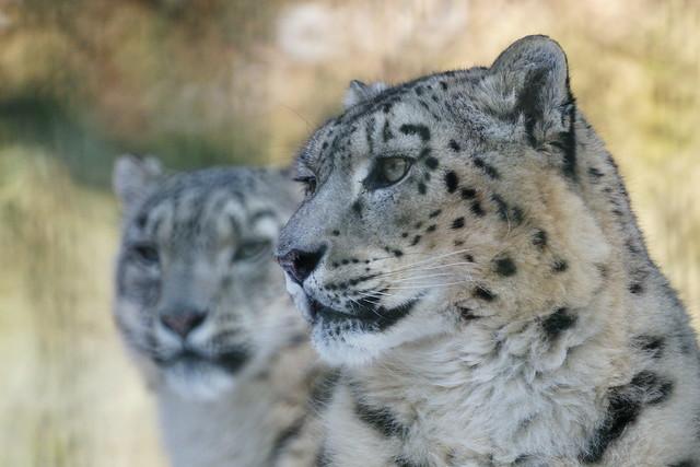 Schneeleopard / Irbis