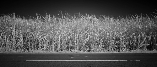 cane field road line | by Matt Jones (Krasang)