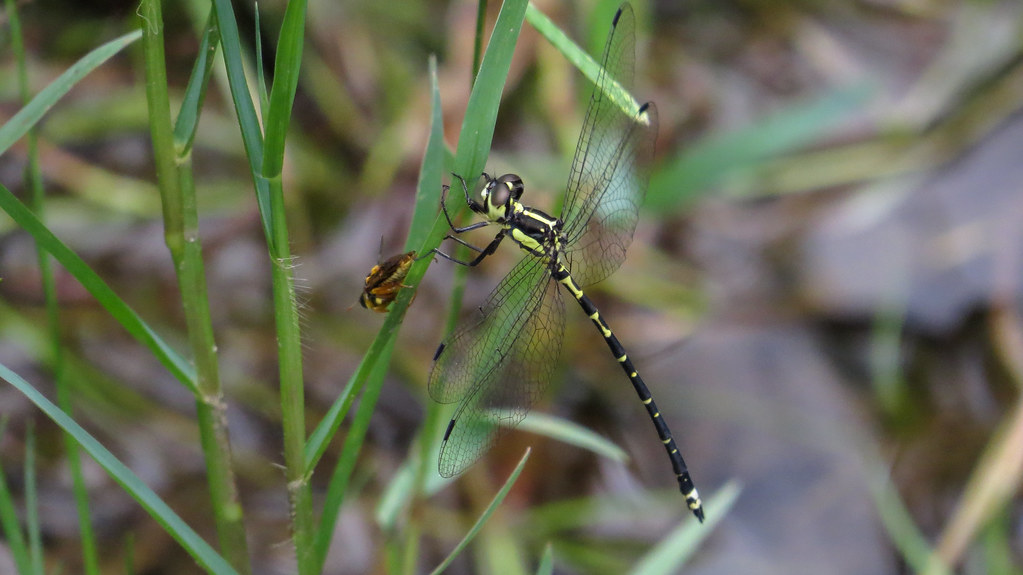 Yellow-tipped Tigertail lateral