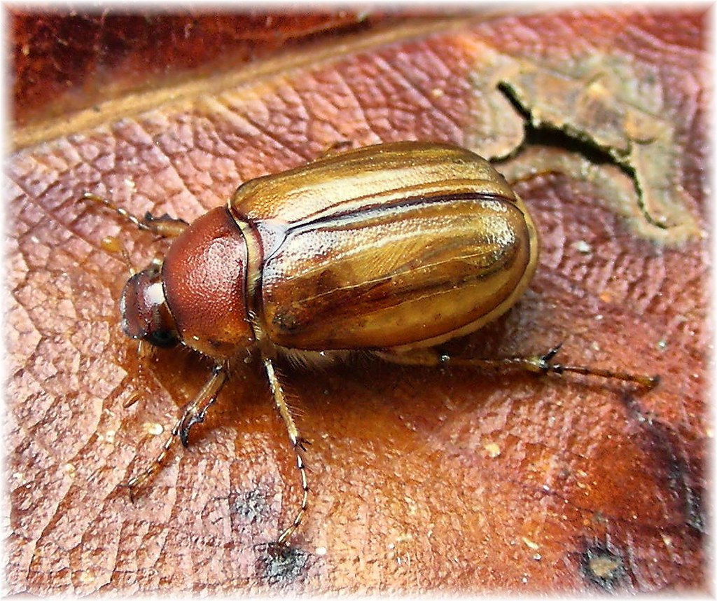 Coleópteros-duro-exoesqueleto