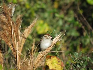 Chipping Sparrow | by magnificentfrigatebird