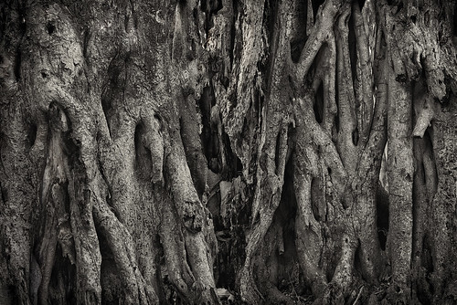tree banyan lake crescent stpetersburg roots strangler ficus old protected blackandwhite nature texture detail bark lines curves