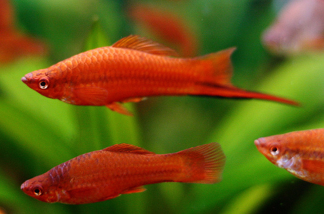 Swordtail fish (Red)