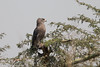 Western Banded Snake-eagle (Circaeetus cinerascens), Liwonde National Park, MW, 2014-09-16--101 by maholyoak