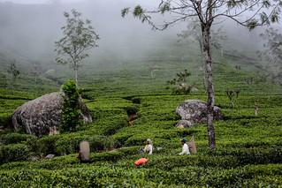 Sri Lanka. Haputale. Glenanore Estate.