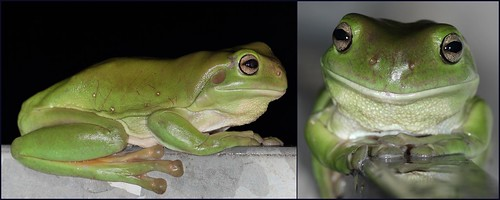 australia treefrog greentreefrog litoriacaerulea seqld familyhylidae australiangreentreefrog