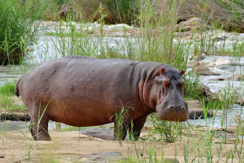 Hippo  Hippopotamus Amphibius