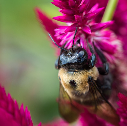 Bumblebee Macro | by cmctaggs