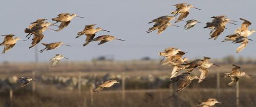 sunset flying flock shorebirds