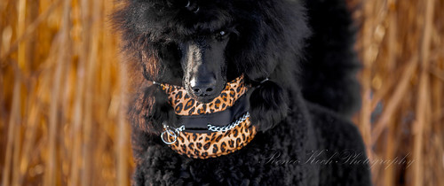 lyra standardpoodle 2015 52weeksfordogs