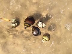 Day 31 - Snails floating against ice in Potomac River, Leesylvania State Park, Woodbridge, Virginia
