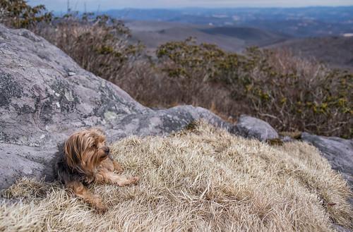 virginia yorkshireterrier appalachiantrail graysonhighlandsstatepark wilburnridge mountrogersrecreationarea dogsthathike