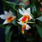 デンドロビウム・ベラ・マリー/Dendrobium Bella Maree