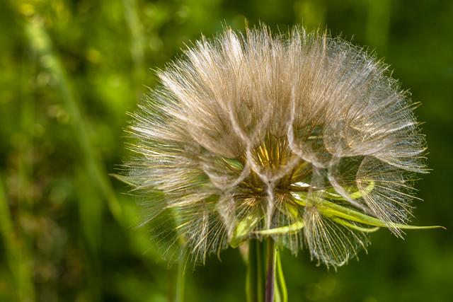 Looks like dandelion