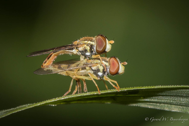 Hover Fly - Another macro