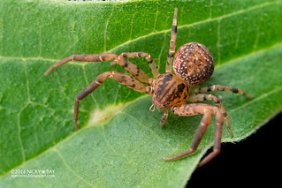 Crab spider (Pycnaxis krakatauensis) - DSC_1582