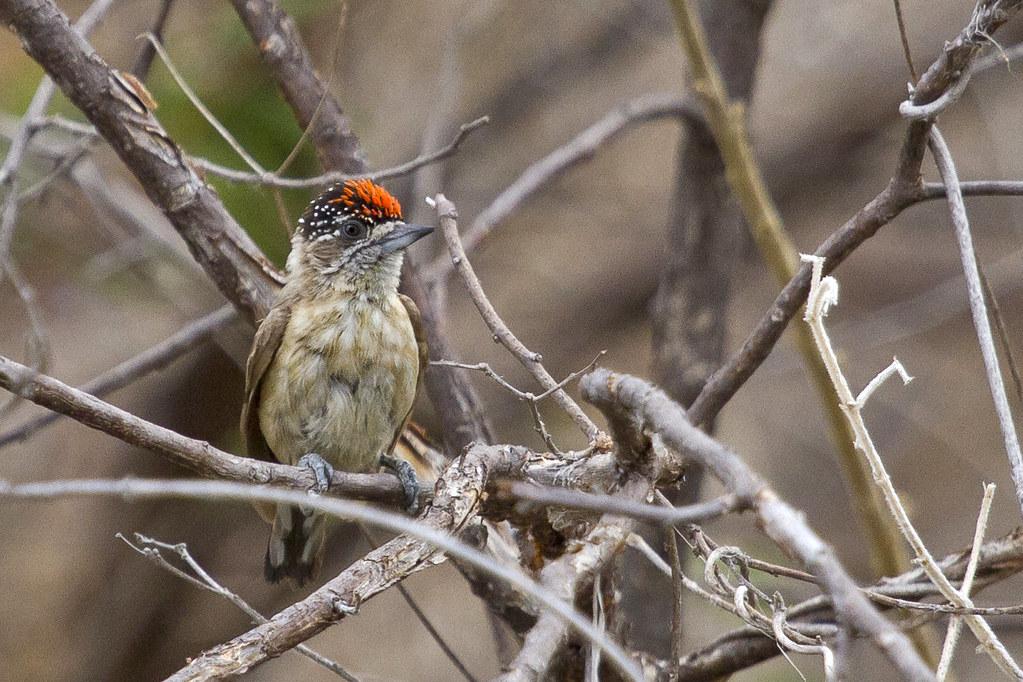 pica-pau-anão-da-caatinga