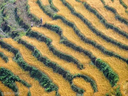 indien sikkim 2014 reisfelder ©claudialeverentz