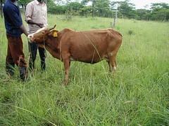 Tue, 01/20/2015 - 04:15 - Species name: Cattle (photo credit: ILRI).