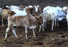 Tue, 01/20/2015 - 04:16 - Species name: Cattle (photo credit: ILRI).