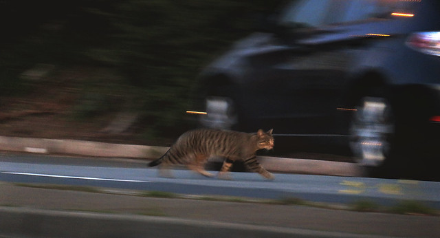 Cat on Lincoln Way at 33rd Ave; The Sunset, San Francisco (2015)