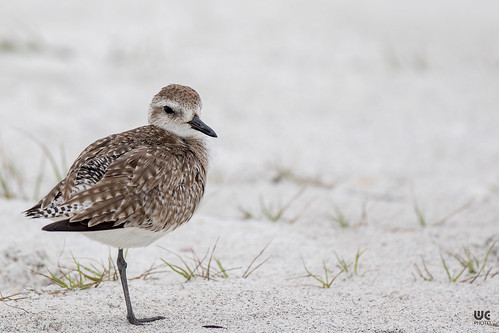 Black Bellied Plover | by Brummel2010