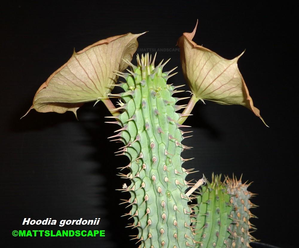 Hoodia Gordonii Bloom Pic 5 Side View Succulent Species Flickr