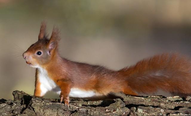 Red Squirrel..... '' Explored ''