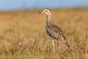 Téu-Téu da savana - Burhinus bistratus - Double-striped Thick-knee by Thiago Orsi