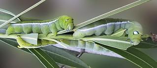 4 Caterpillars