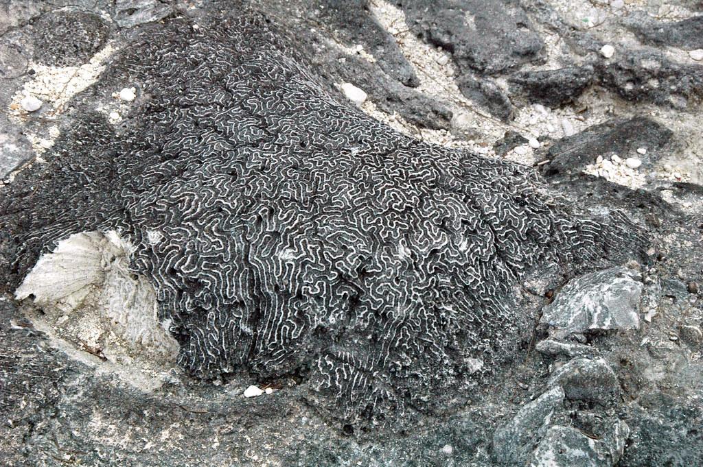 Diploria strigosa fossil symmetrical brain coral (Cockburn Town Member, Grotto Beach Formation, Upper Pleistocene, 114-127 ka; Cockburn Town Fossil Reef, San Salvador Island, Bahamas) 6