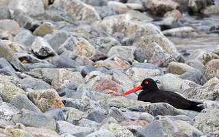 Oyster Catcher in the Rocks | by raya6789