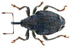 Parethelcus pollinarius (Forster, 1771)