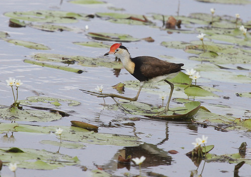 Comb-crested Jacana | by boombana