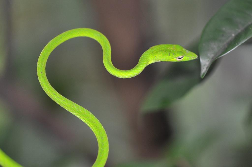 green tree snake  sentosa  singapore