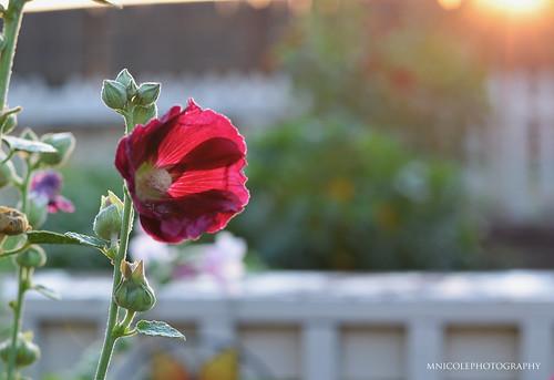 redflower flower sunny sun sunrise sunflare summer summertime flowers flagstaff focus flagstaffarizona sooc bokeh nikon nikkor nikkorlens nikond7000 photography mnicolephotography amazing beautiful nature naturallight natural naturallighting