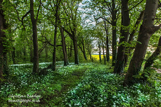 Wild Garlic on the west of the Island
