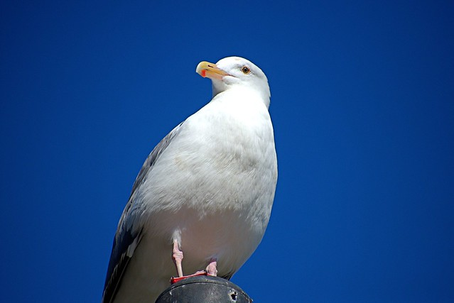 Seagull in the Sunlight